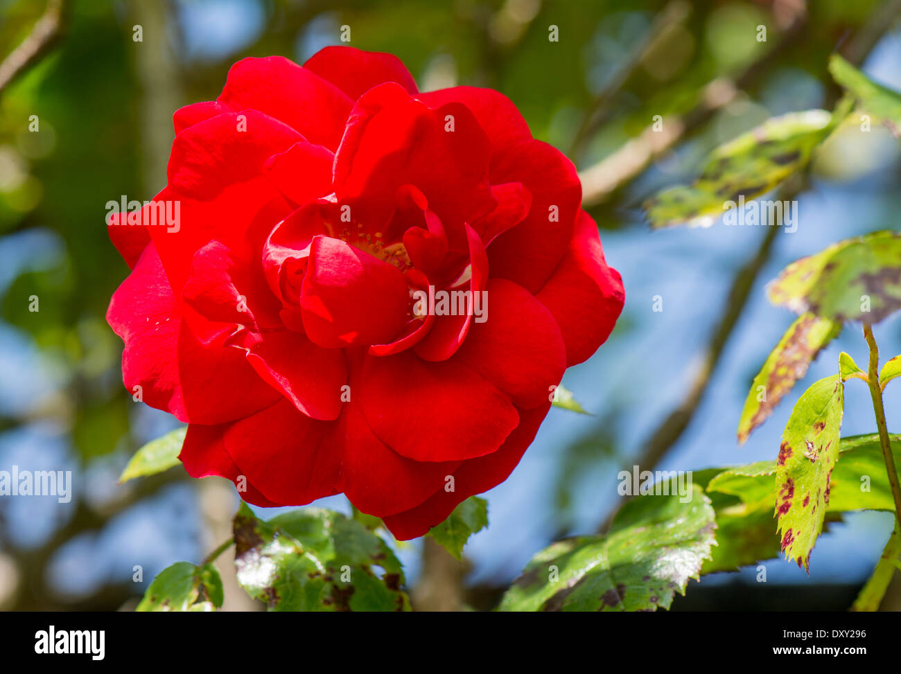 Red rose - Close up view - Stock Image