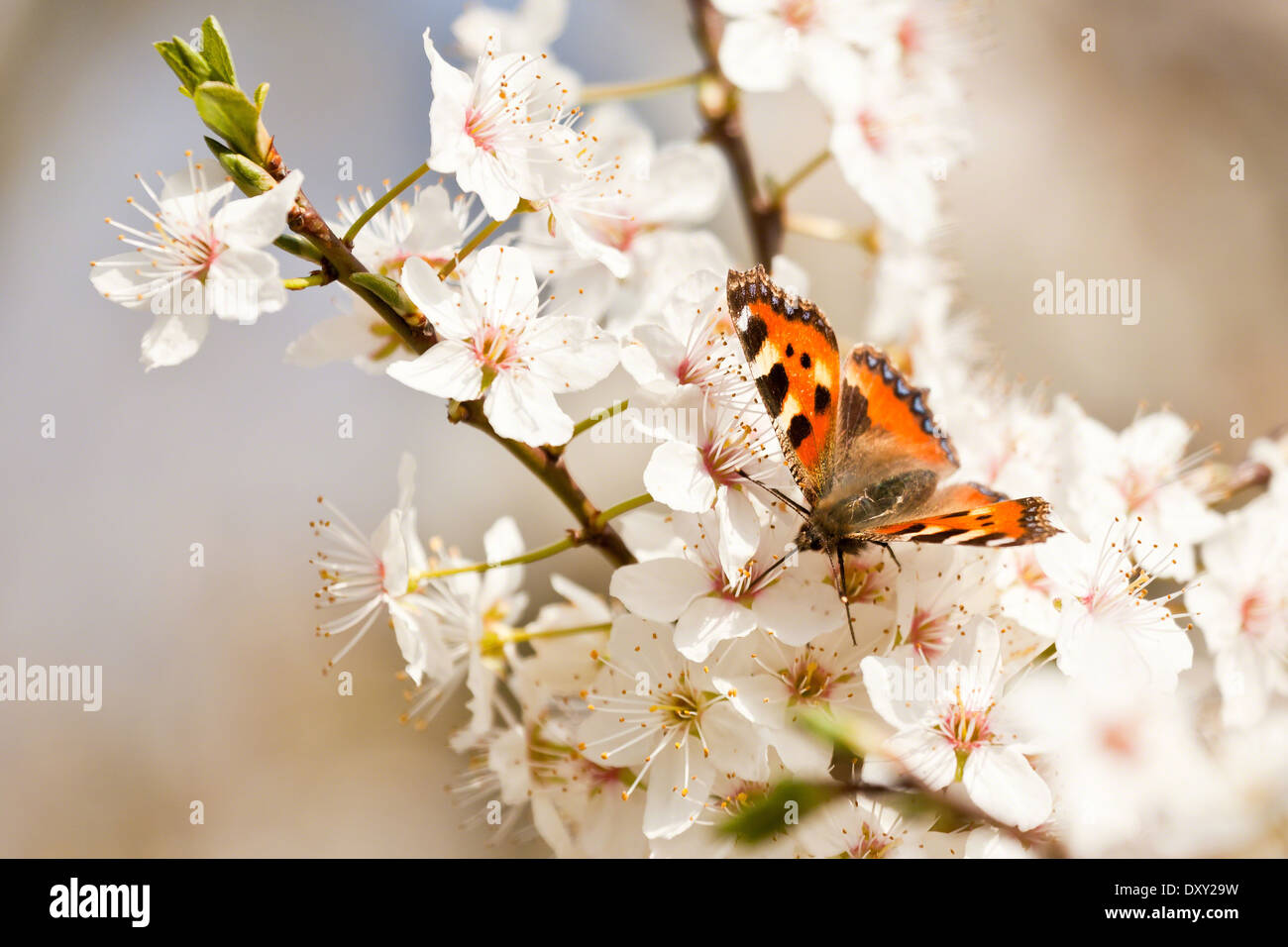 Small tortoiseshell butterfly on a flowering branch of blackthorn - Stock Image