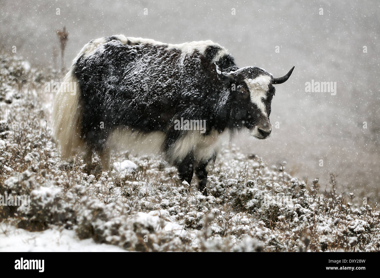 Yak in falling snow in Bhutan. Digitally Manipulated Image. Stylised by sharpening and enhancing color. - Stock Image