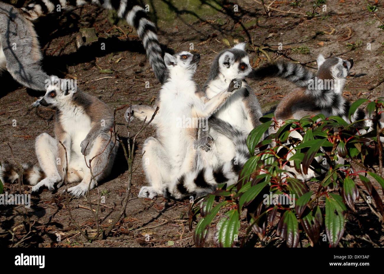 Group of sun-bathing Ring-tailed lemurs (Lemur catta Stock Photo ...