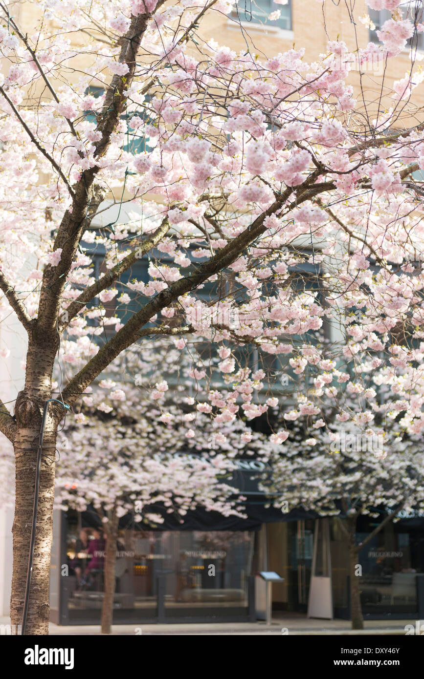 Cherry Blossom in Oozells Square, Brindleyplace, Birmingham - Stock Image