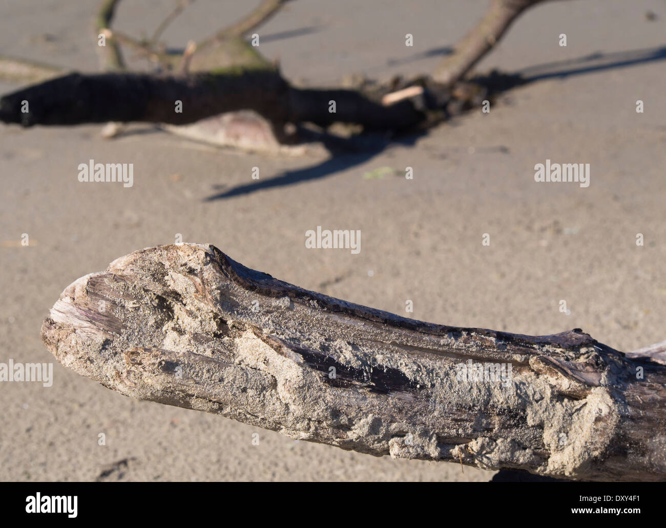 Fine grained beach sand on the North Sea coast of Norway, driftwood weathered after a long time in water - Stock Image