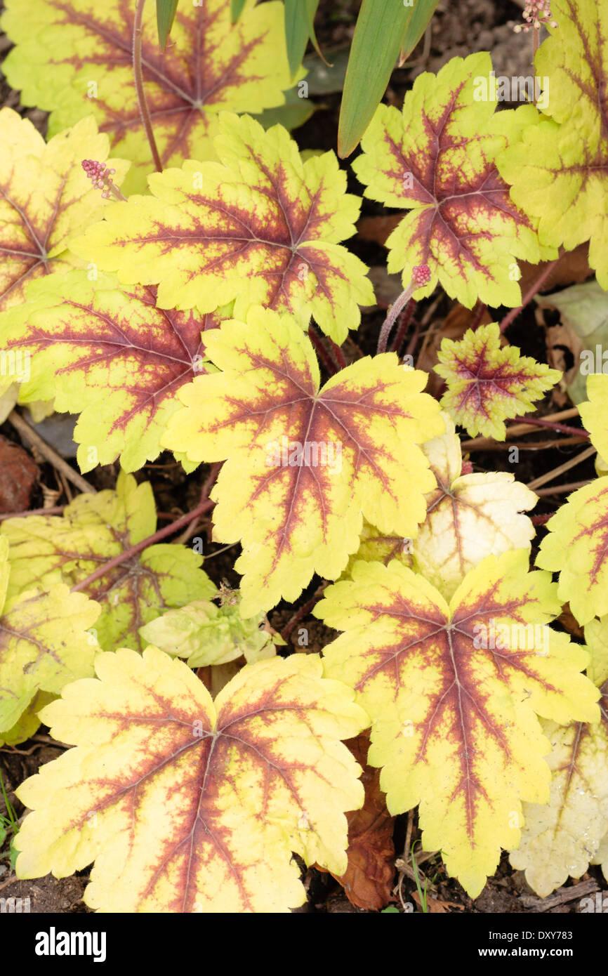 Attractive foliage colour of the Heuchera hybrid 'Stoplight' in a private garden in Plymouth - Stock Image