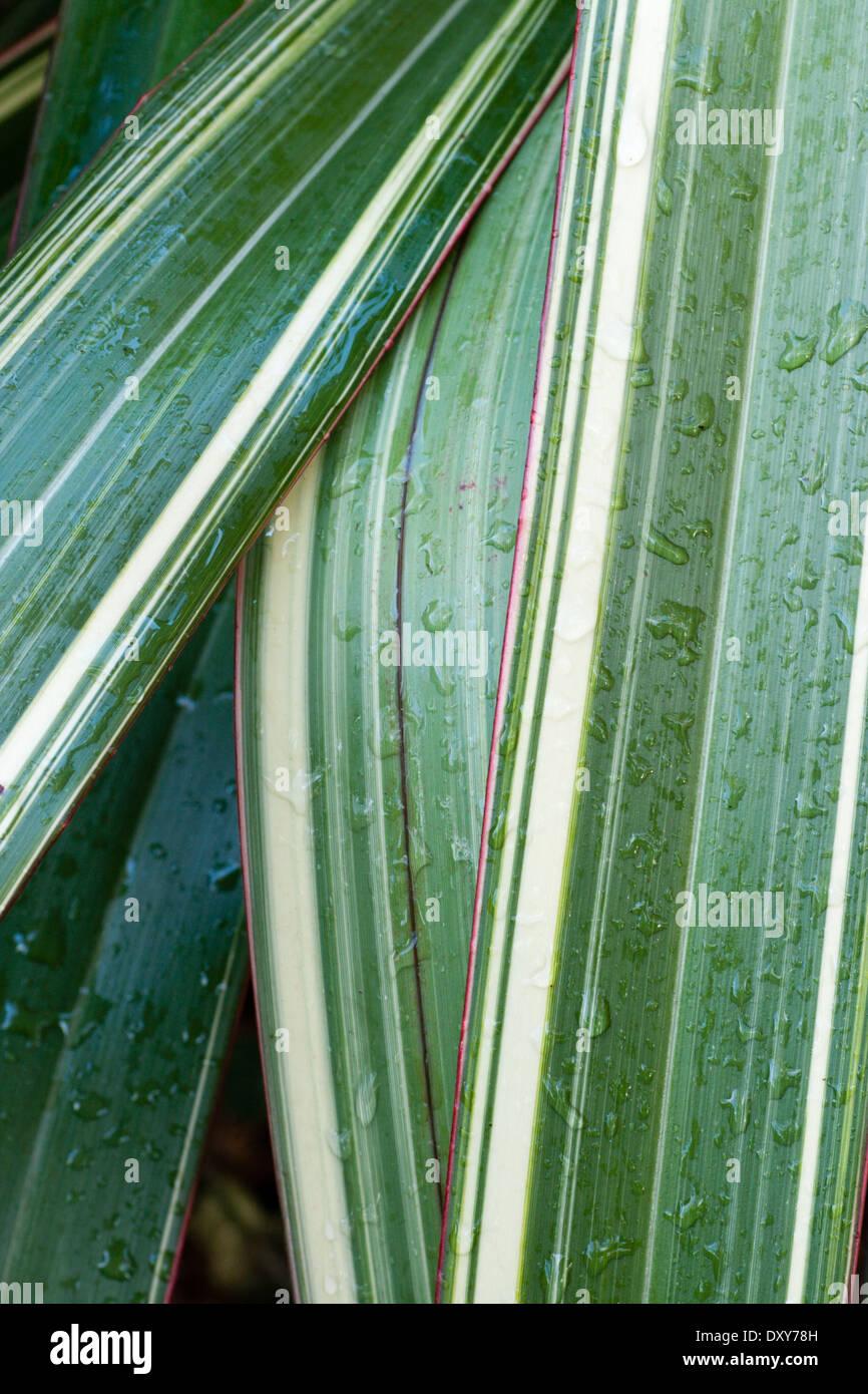 Rain wet foliage of the New Zealand flax, Phormium 'Tricolor' - Stock Image