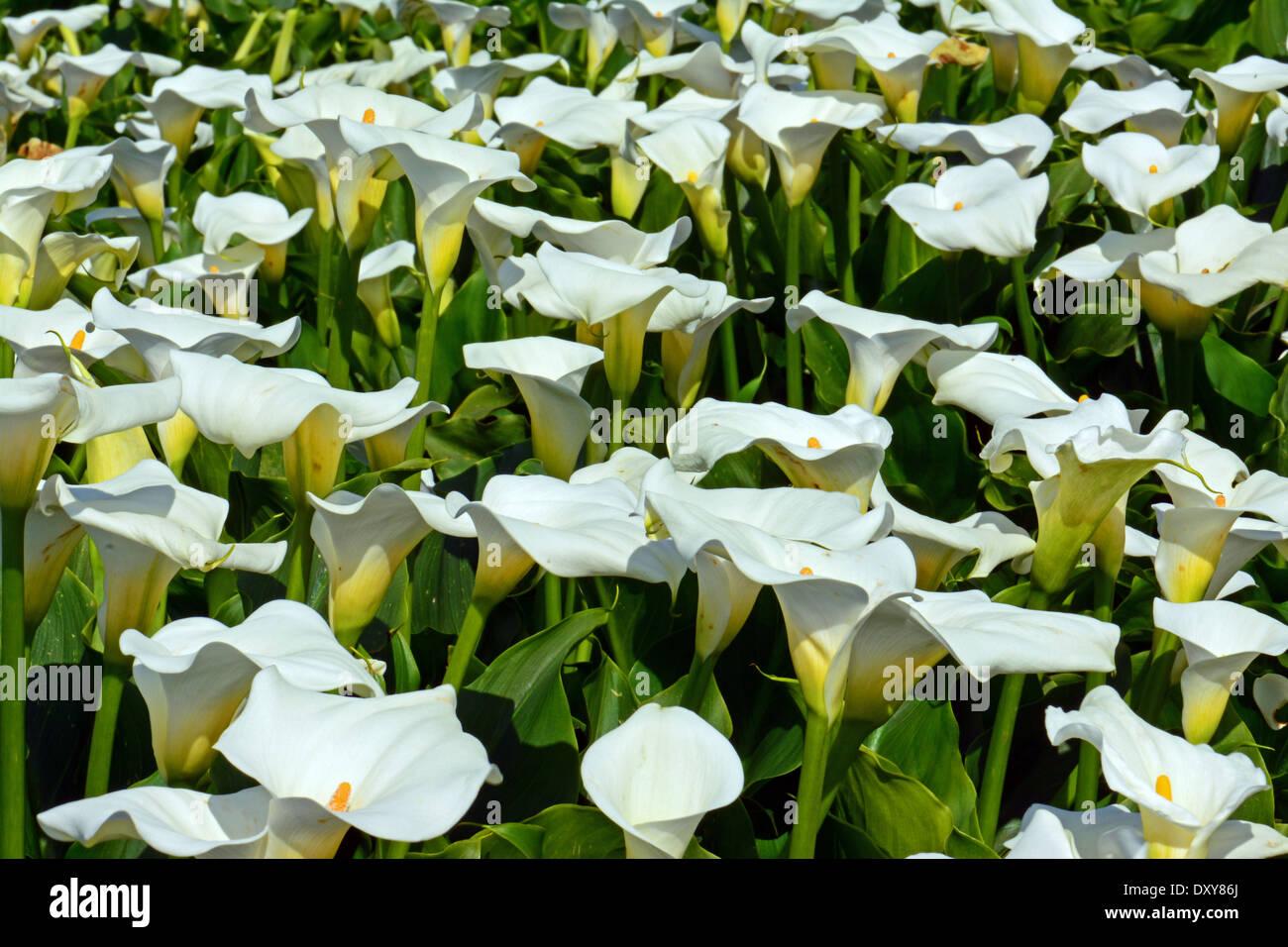 A field of Wild Calla - Stock Image