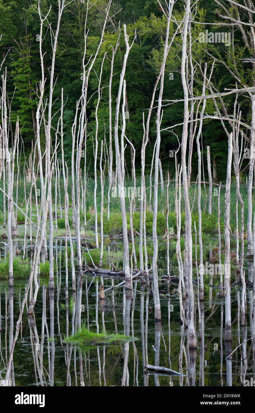 Dead trees reflecting reflecting in stagnant wateron the edge of a small pond near Balla, Muskoka, Ontario, Canada. - Stock Image