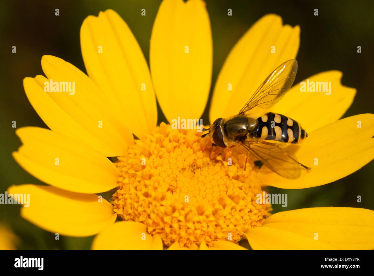 Hover fly on  yellow flower - Stock Image