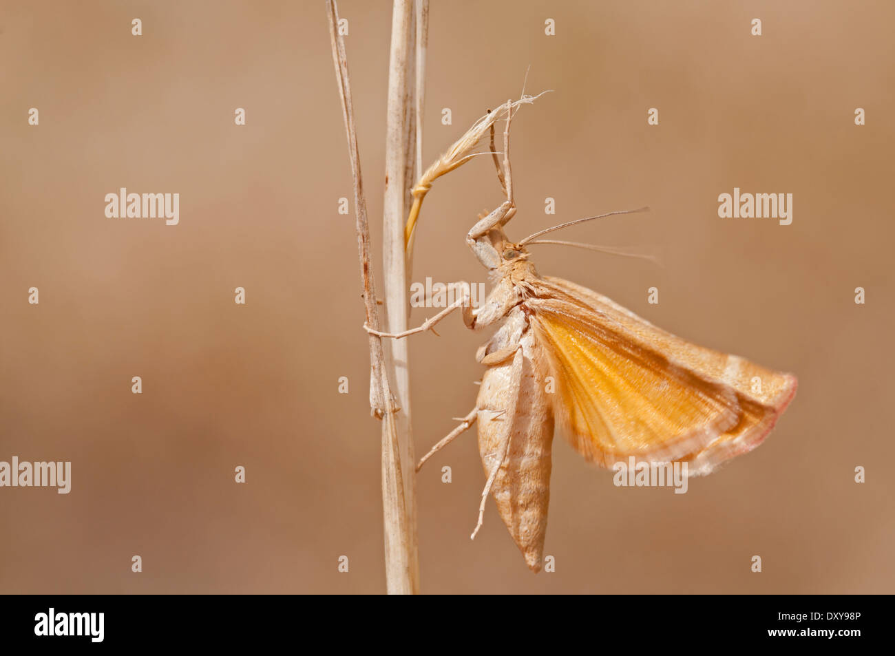 Moth wings, Side view - Stock Image
