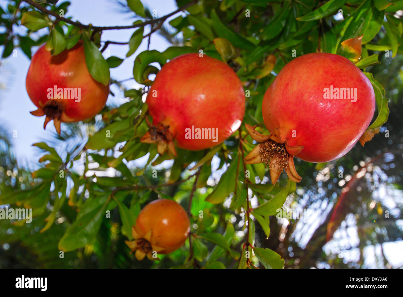 Pomegranates on tree, Israel - Stock Image