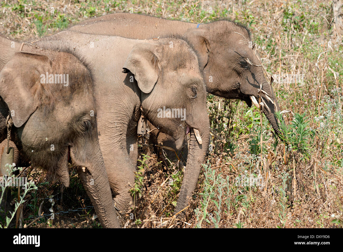 Three young elephants enjoy freedom to wander around and eat in the cornfield.  Huay Pakoot, northern  Thailand. - Stock Image