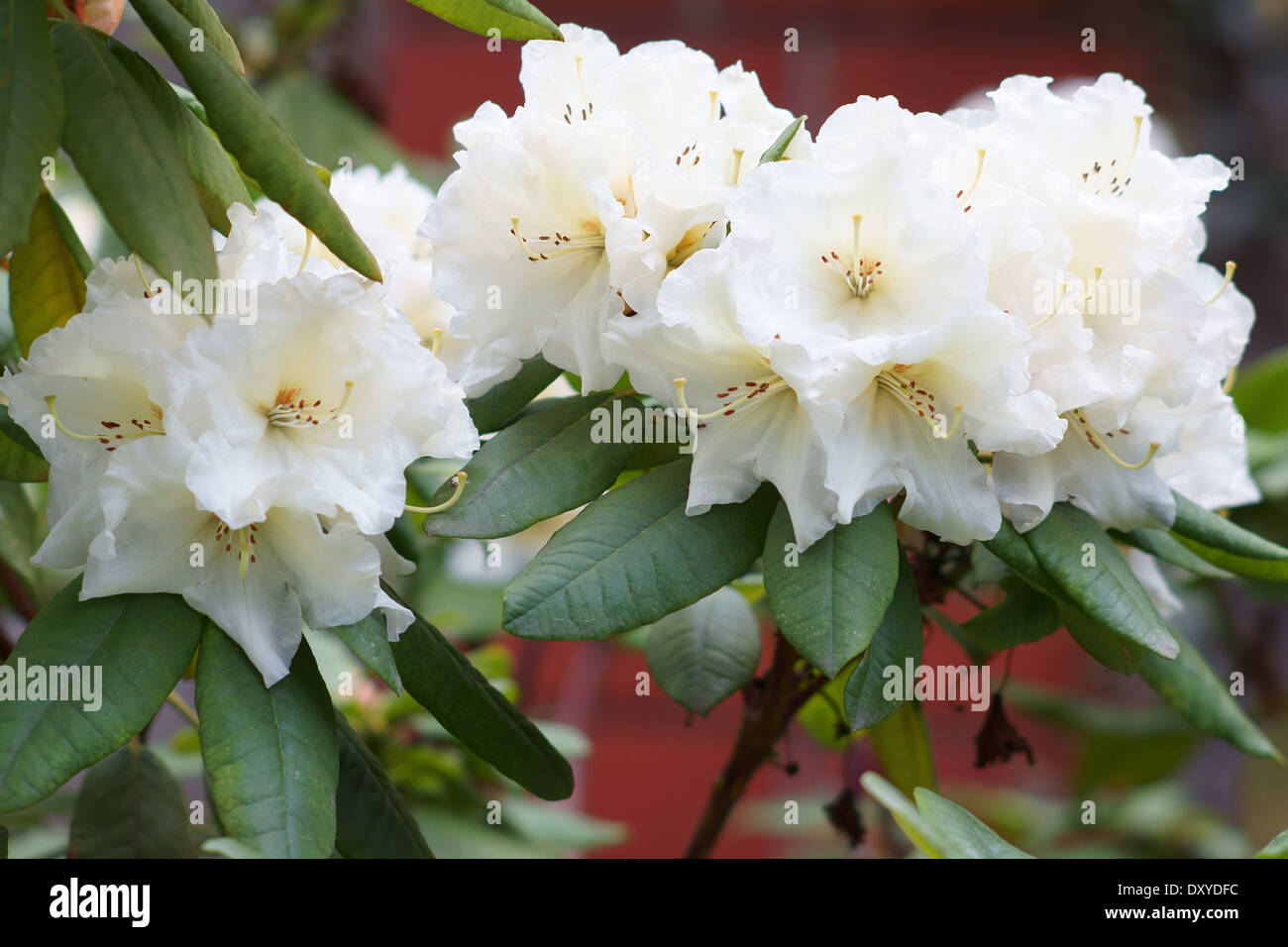 Rhododendron white flowers close up Breslau Stock Photo