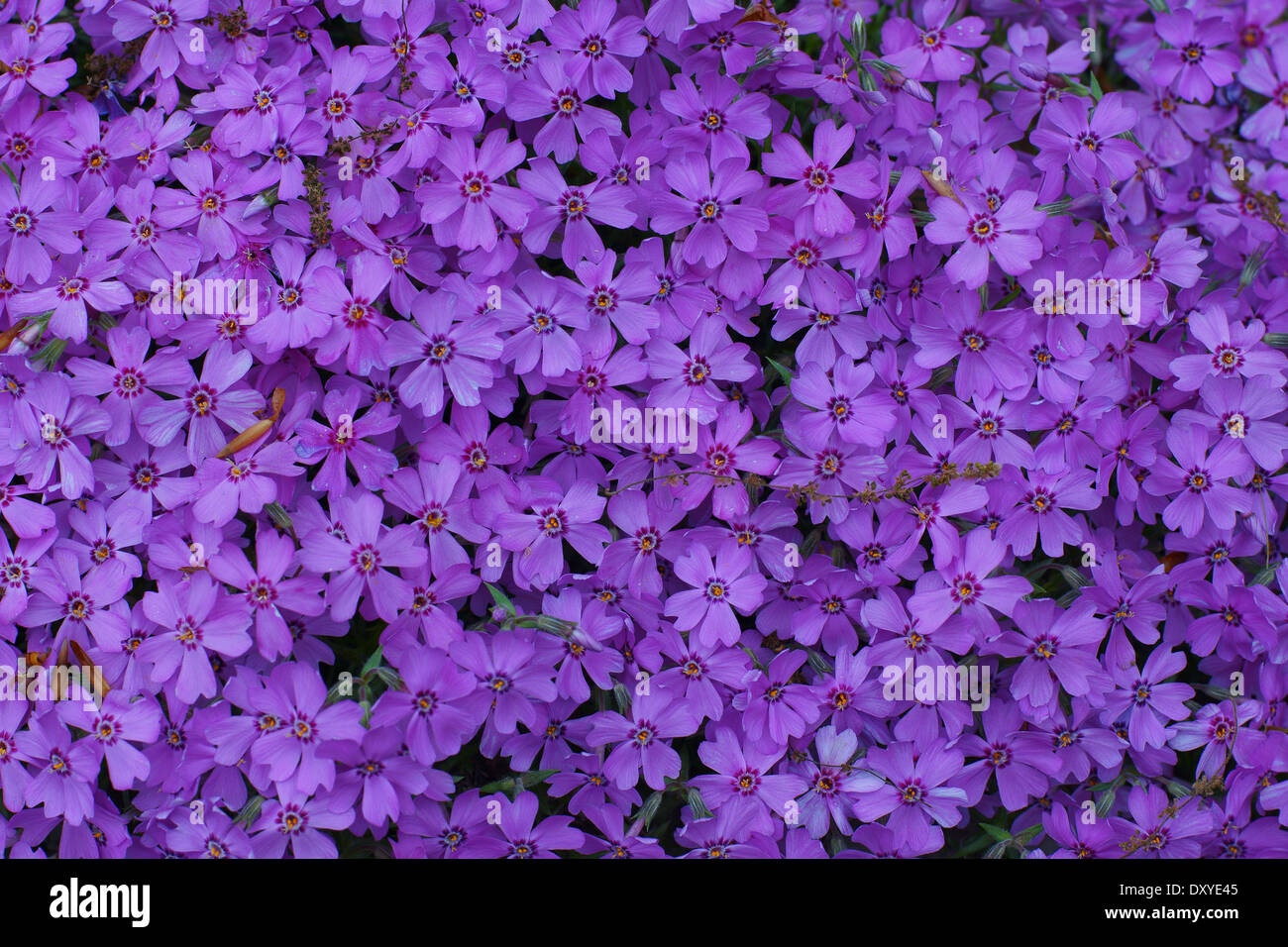 Little purple flowers stock photos little purple flowers stock numerous little purple flowers gathered tightly together stock image mightylinksfo