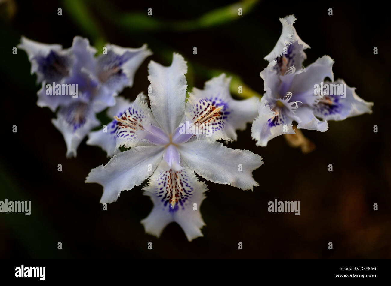 Changsha. 2nd Apr, 2014. Photo taken on April 2, 2014 shows Fringed Iris blossoms in Changsha, capital of central China's Hunan Province. © Long Hongtao/Xinhua/Alamy Live News - Stock Image