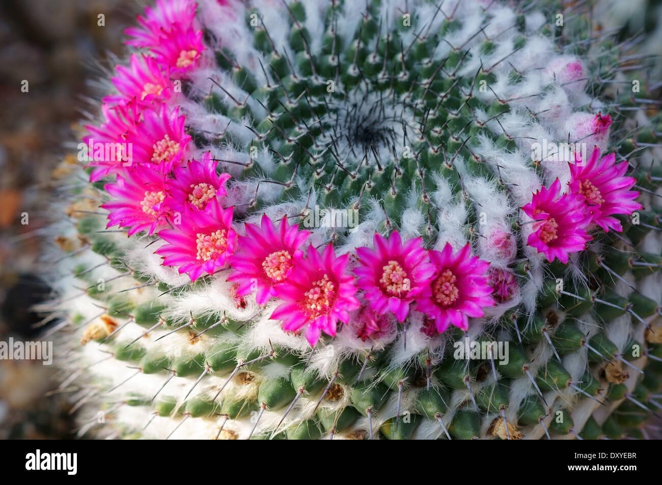 Cactus Mammillaria sempervivi flowers close up - Stock Image