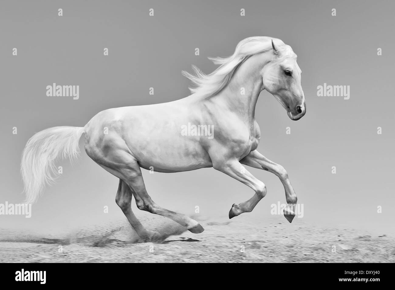 Beautiful Orlov trotter running on sandy soil, black and white photo - Stock Image