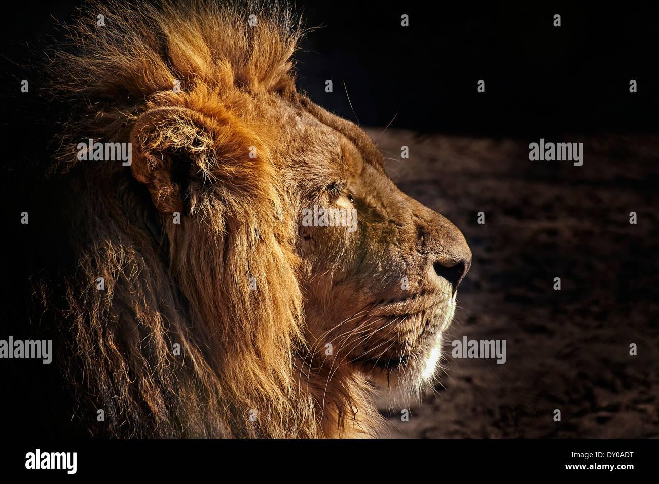 A profile portrait of an adult male Lion Stock Photo