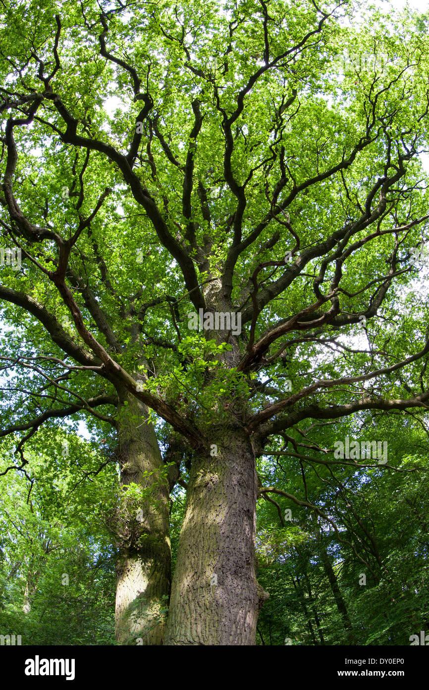 English Oak, oaks, treetop, crown, Stiel-Eiche, Stieleiche, Eiche, Eichen, Quercus robur, Frühjahr, Baumkrone, Chêne commun - Stock Image
