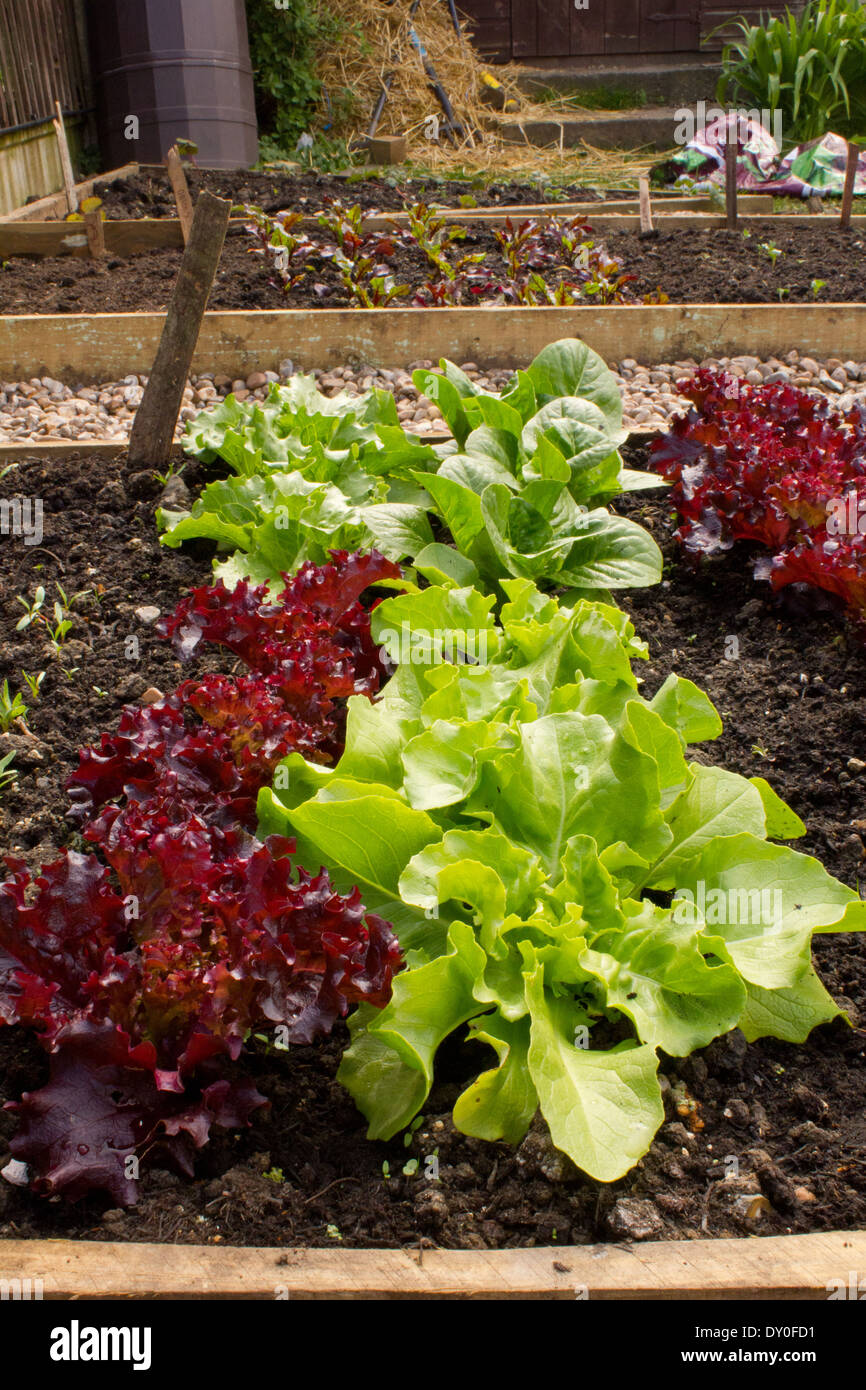 Raised bed with a row of lettuces in the foreground and a back drop of additional raised beds with planting. - Stock Image