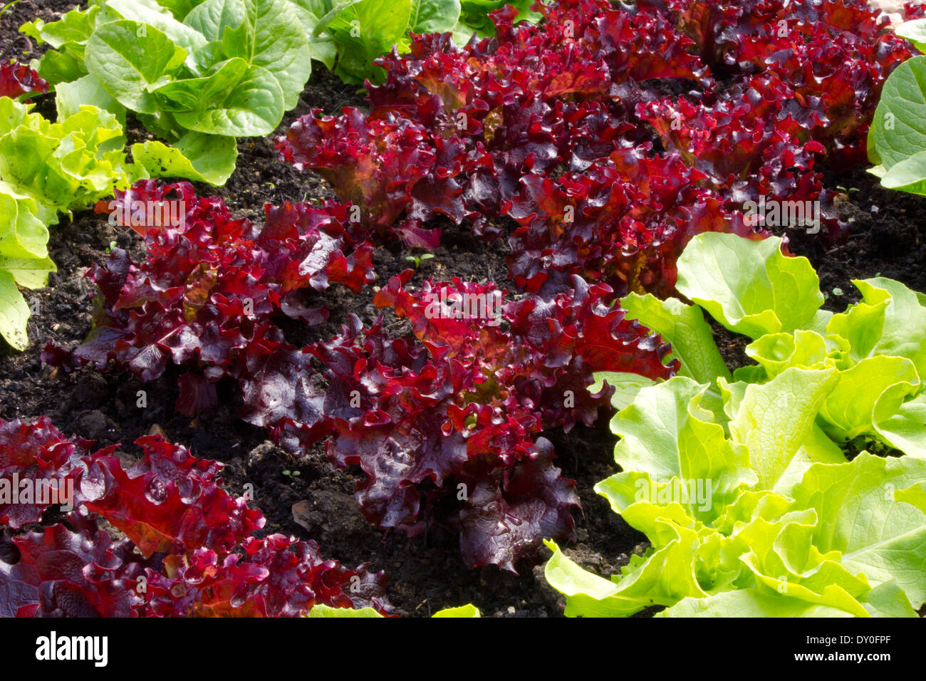 Red leaf lettuce, planted in two rows between green leaf lettuce, the plants are approx seven weeks old and healthy - Stock Image