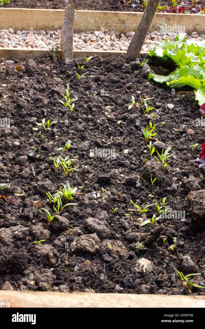 Two rows of spinach seedlings. with in a raised bed - Stock Image