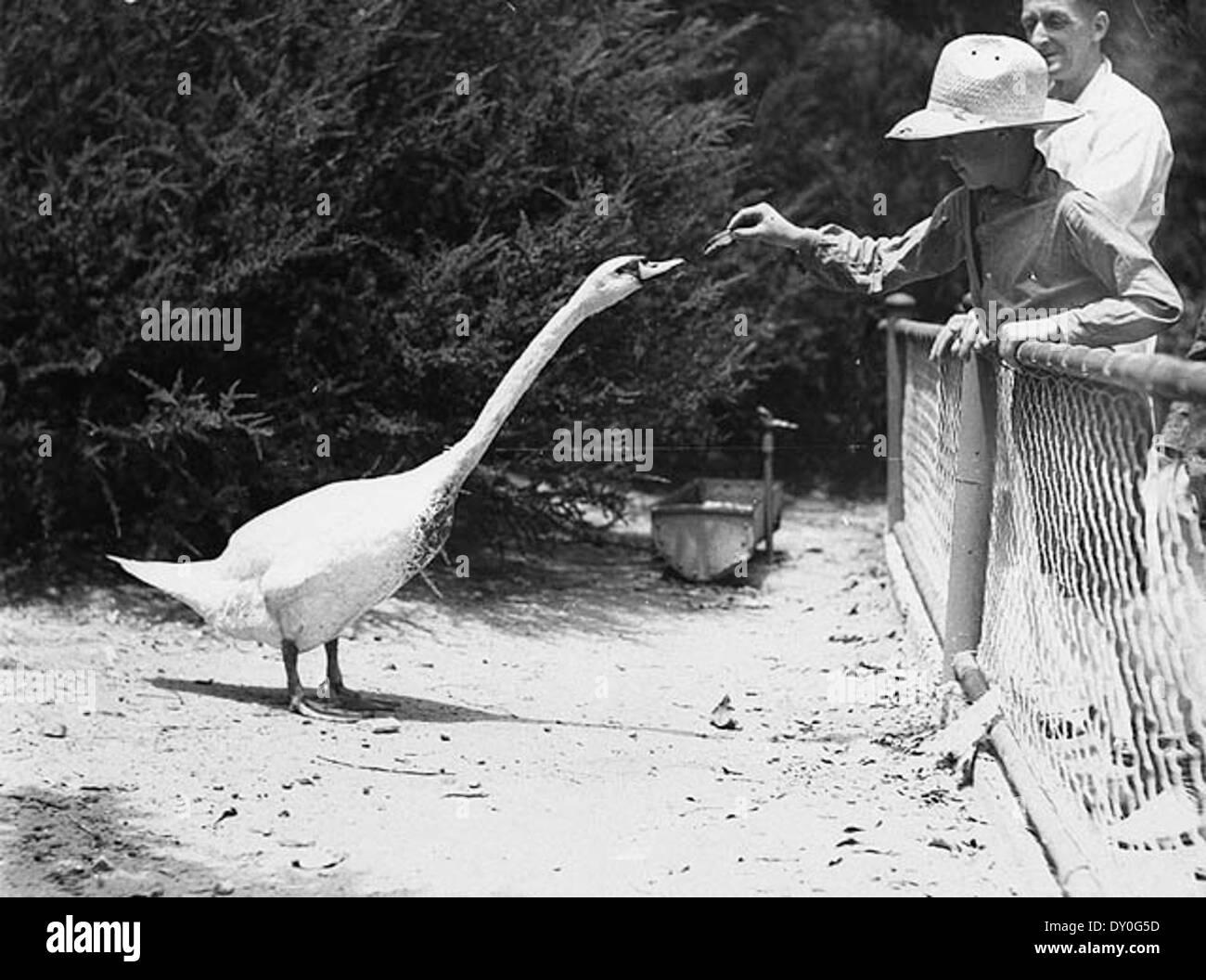 Far West boy feeds a swan, Taronga Park Zoo, Sydney, 2nd January, 1935 / by Ted Hood - Stock Image