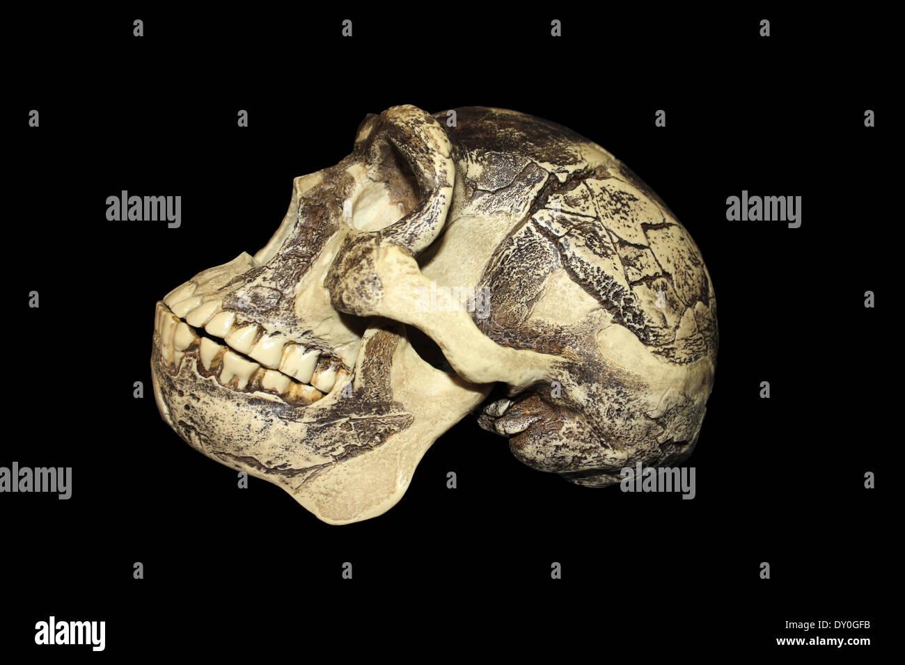 Zhoukoudian (Choukoutien) Homo erectus Skull - Stock Image