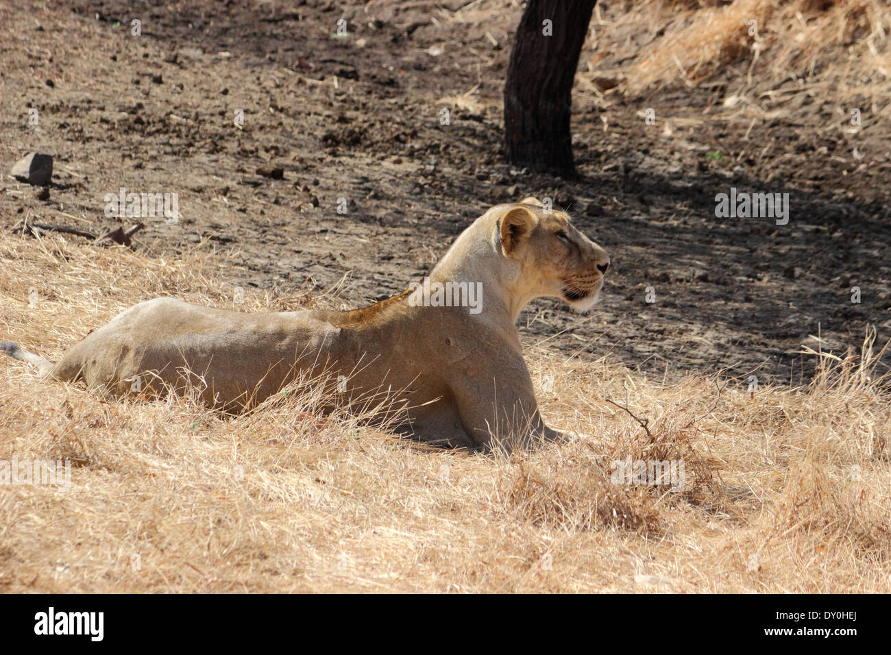 Lion of Gir forest in Gujarat - Stock Image