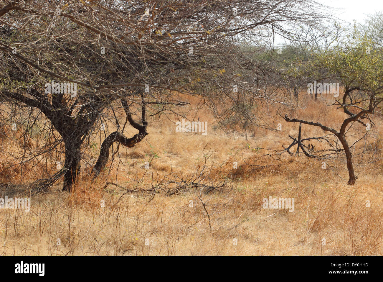 Gir forest in India - Stock Image