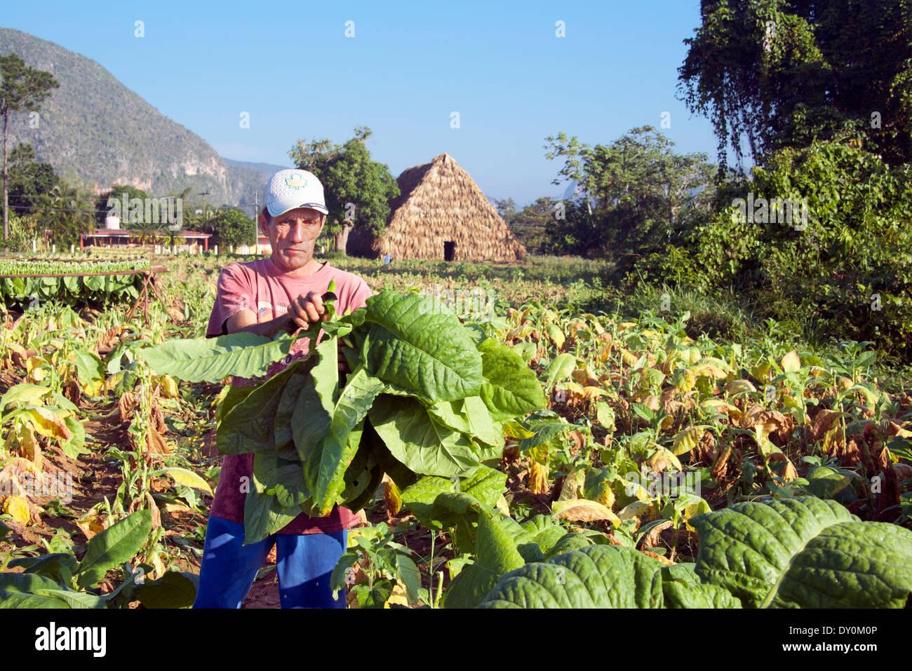 Man gathering tobacco leaves Vinales Cuba - Stock Image