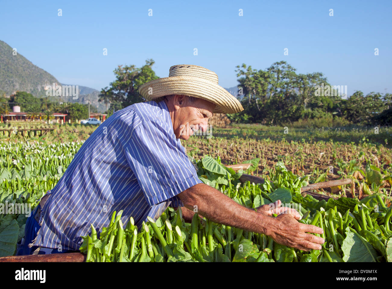 Man laying out tobacco leaves for drying Vinales Cuba - Stock Image