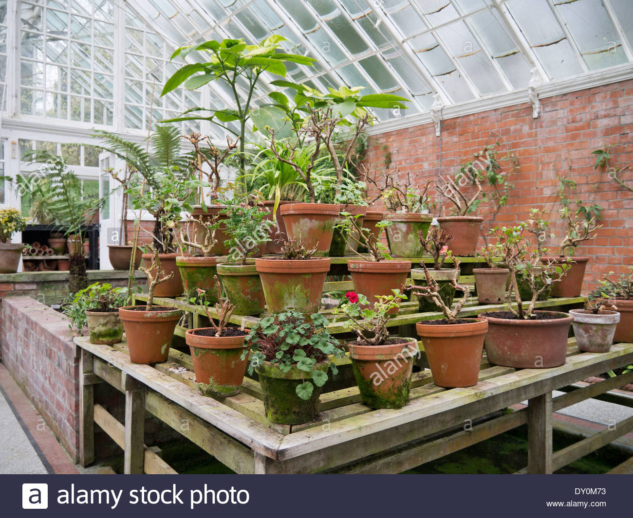 Pots and plants in the greenhouse at Hergest Croft Gardens: Kington, Herefordshire, England. - Stock Image