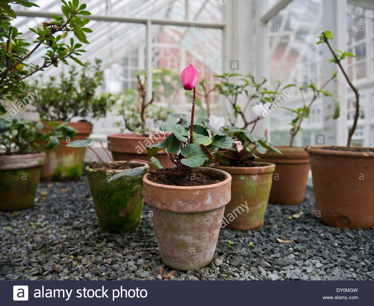 Potted cyclamen in the greenhouse at Hergest Croft Gardens: Kington, Herefordshire, England. - Stock Image