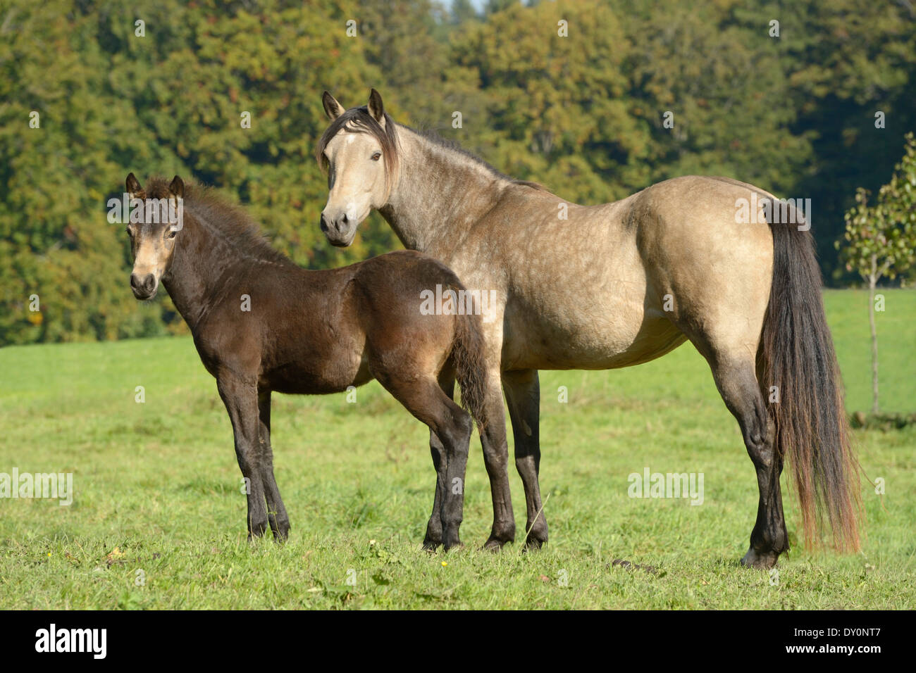 Connemara pony mare and her foal standing in tthe field at late summer. - Stock Image