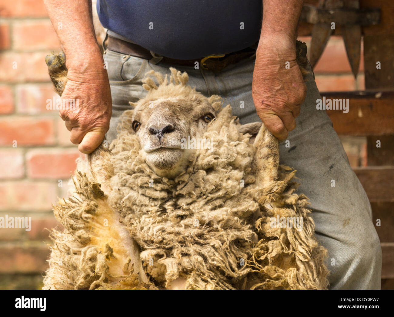 New Zealand Sheep Farming Stock Photos New Zealand Sheep
