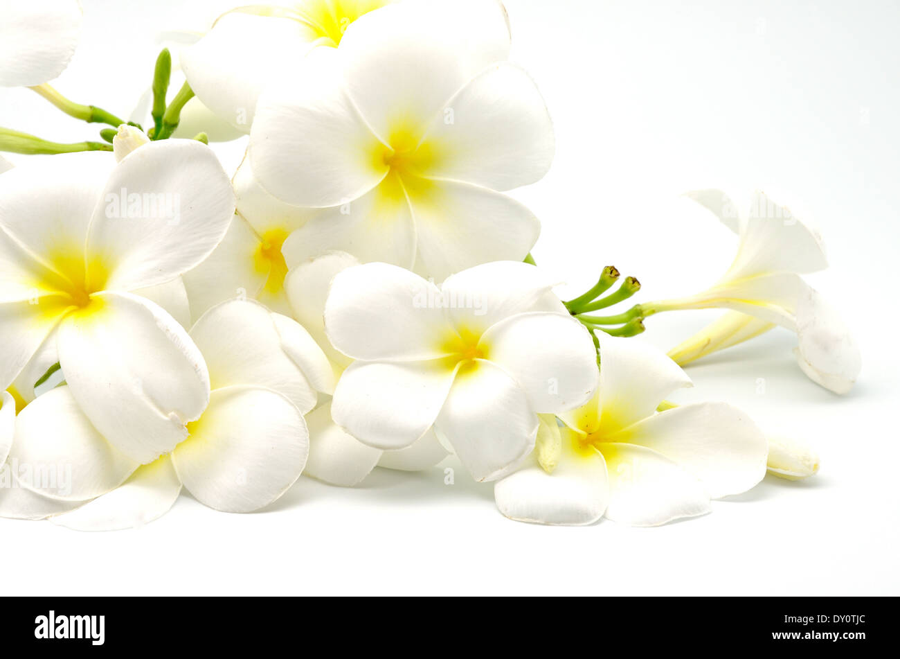A white and yellow plumeria flower isolated on a white background a white and yellow plumeria flower isolated on a white background mightylinksfo