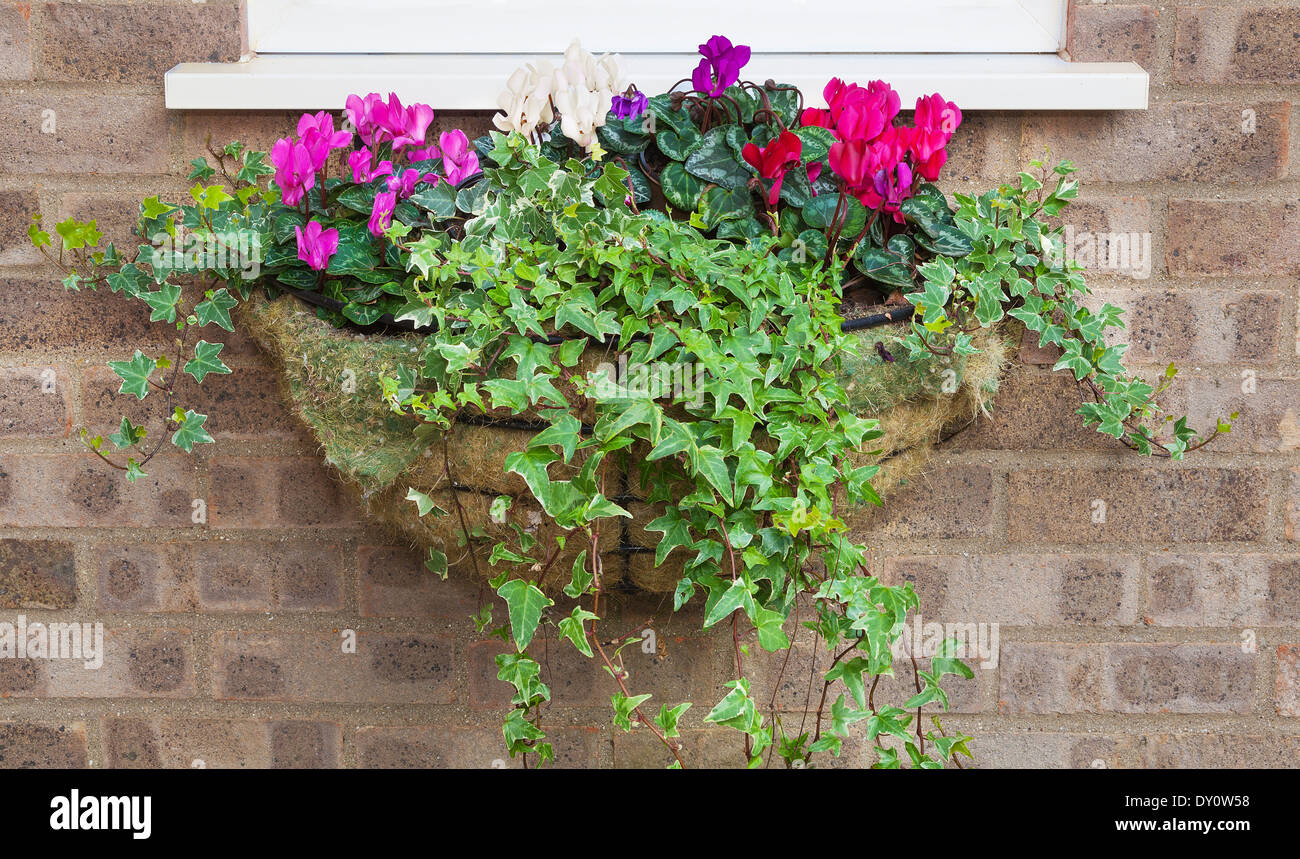 Winter And Spring Flowering Hanging Basket With Trailing Ivy Stock