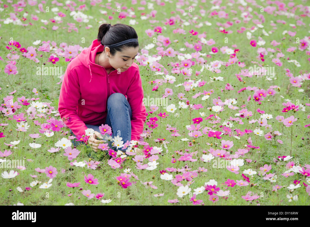 Young woman in field of pink purple cosmos flowers - Stock Image