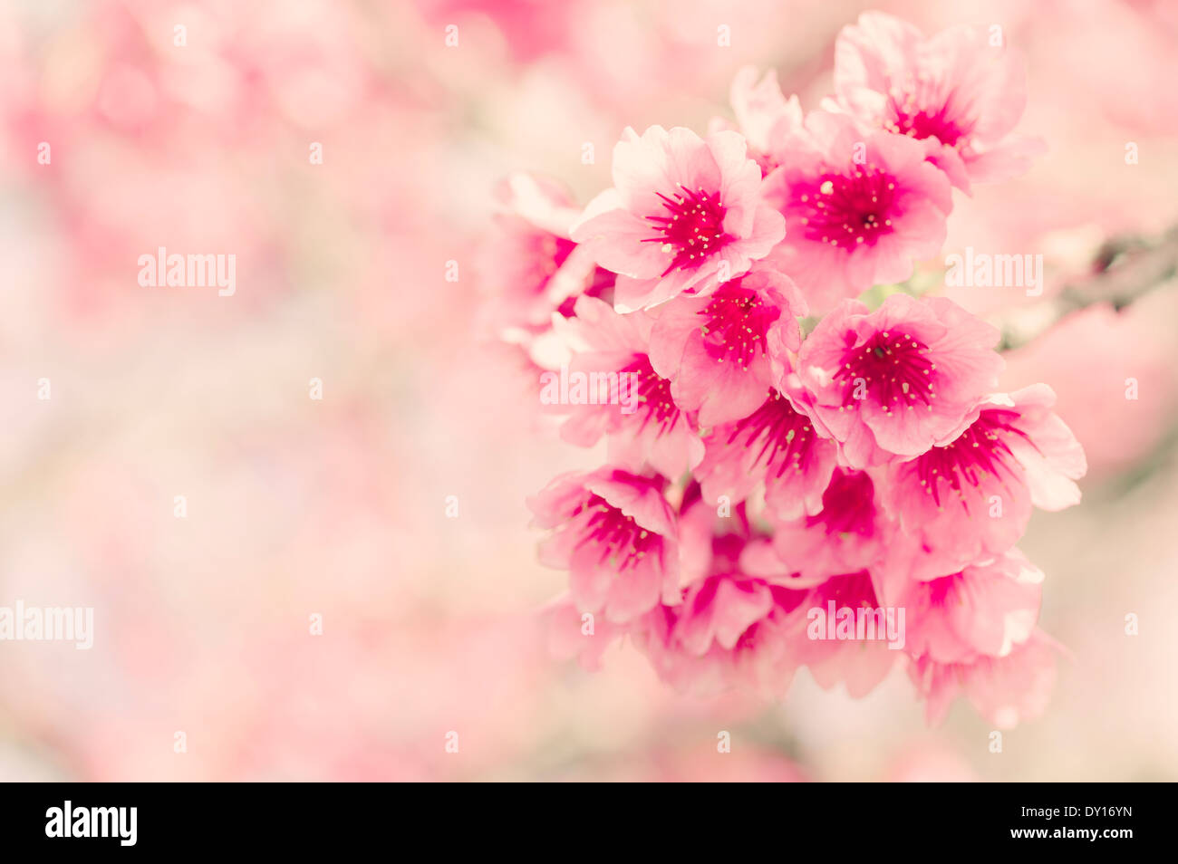Japanese cherry blossom ( sakura ) in Okinawa, Japan. - Stock Image