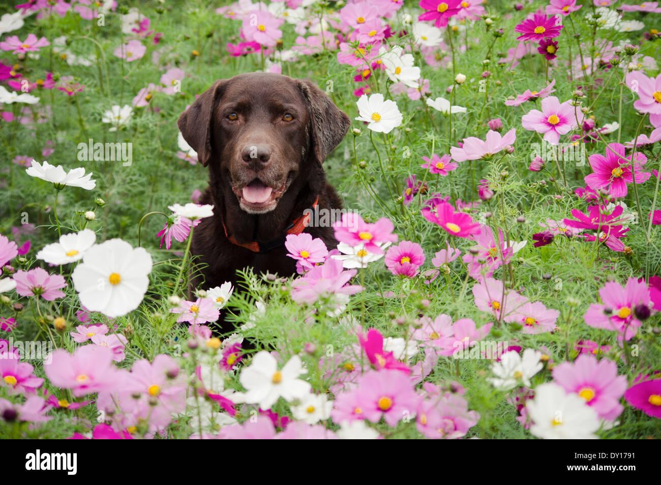 Chocolate Labrador Retriever in a field of cosmos flowers - Stock Image