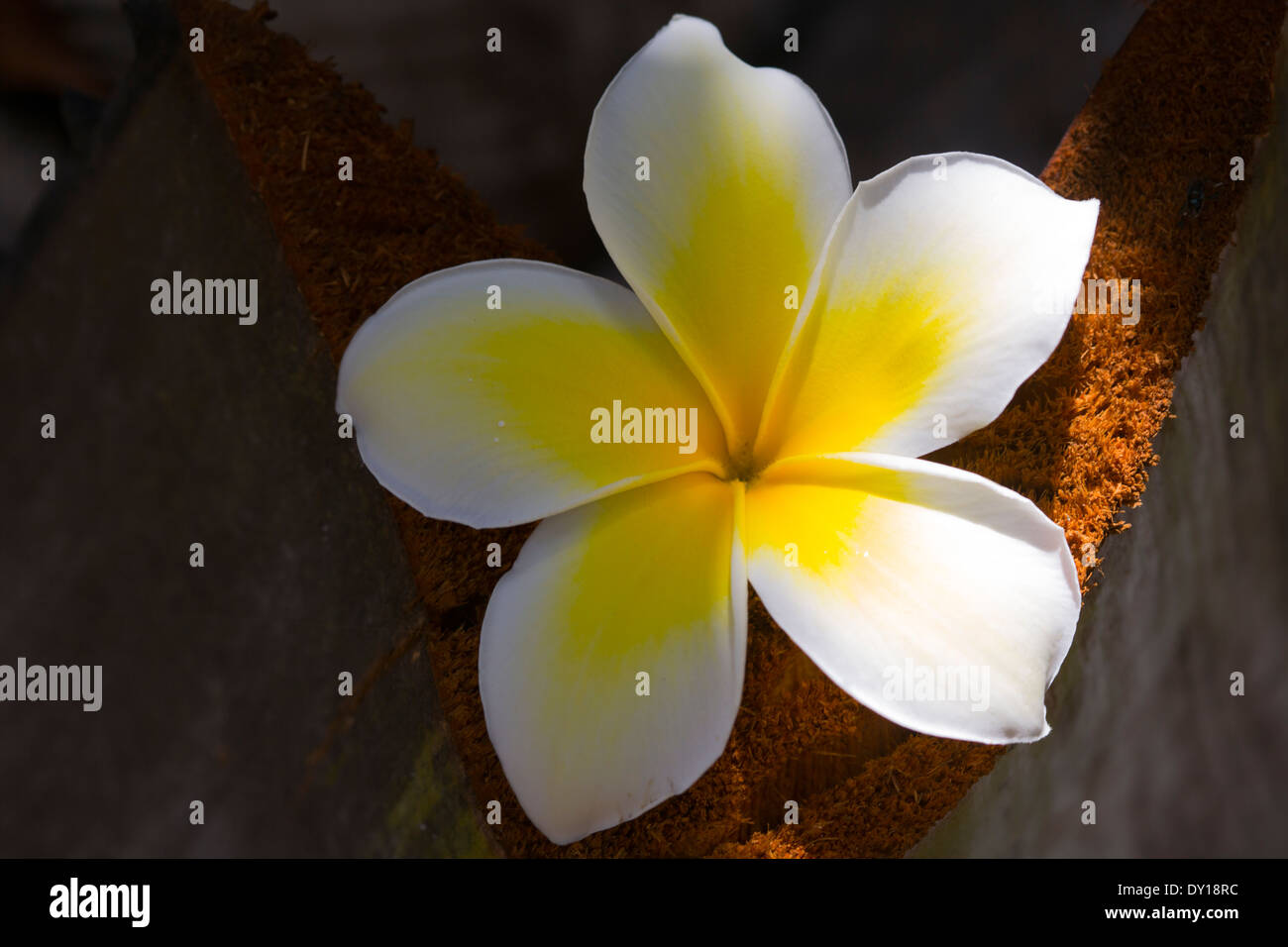 White yellow tropical flowers stock photos white yellow tropical tropical yellow and white flowers frangipani plumeria stock image mightylinksfo