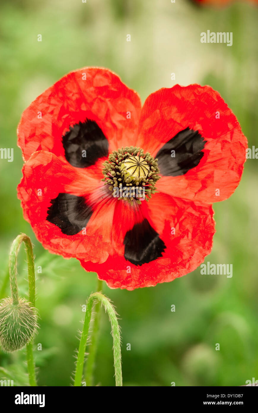 Papaver commutatum, Perennial, May Red flower with distinctive black markings. - Stock Image