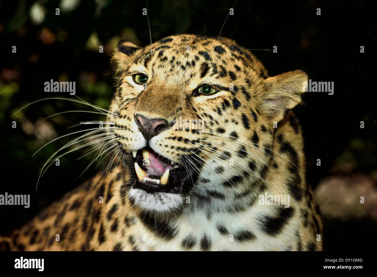 Amur leopard (Panthera pardus orientalis) close up of adult female roaring - Stock Image