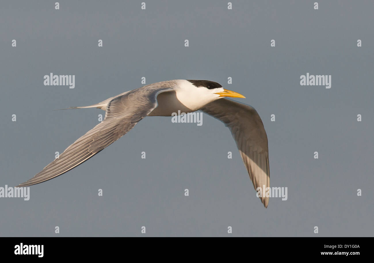 The Swift Tern is one of the most abundant of southern Africa's terns - Stock Image