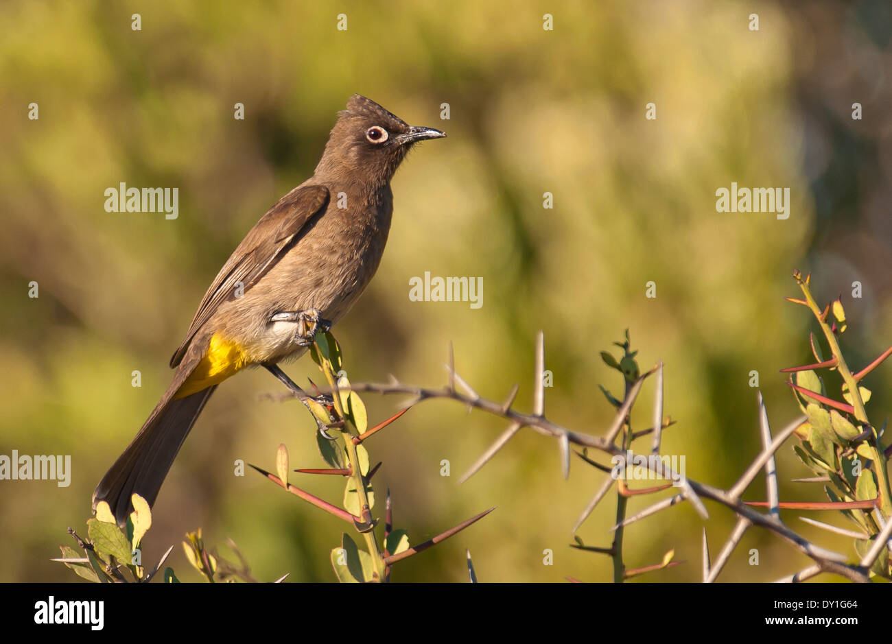A Cape Bulbul (Pycnonotus capensis) in West Coast National park, Western Cape, South Africa Stock Photo