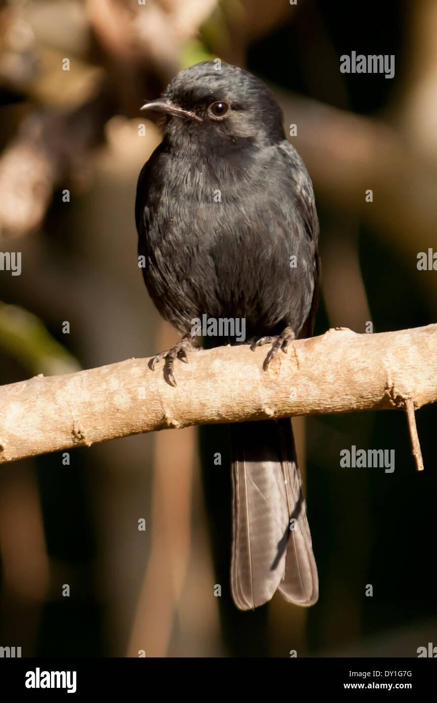 A Southern Black Flycatcher (Melaenornis pammelaina) in Mpiti Nature Reserve, KwaZulu-Natal, South Africa - Stock Image