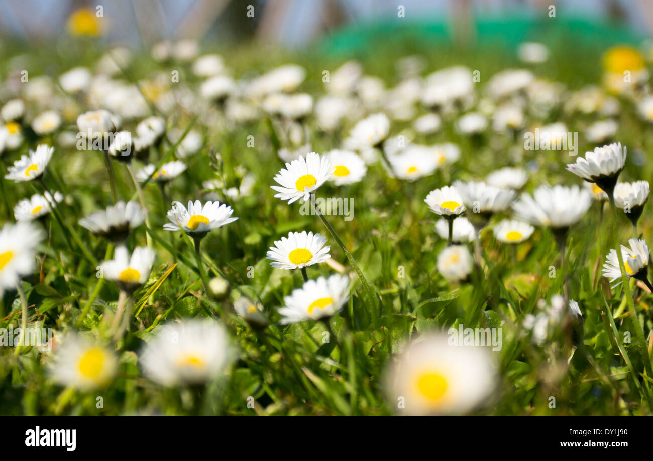 Daisy flowers in the grass. - Stock Image