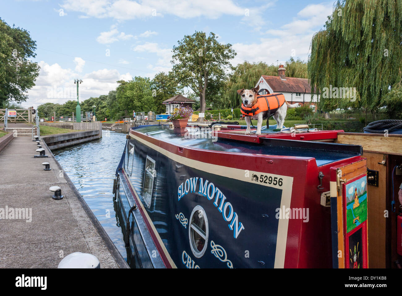 Terrier dog on roof of narrowboat moving into Boveney Lock, Bucksinghamshire. - Stock Image