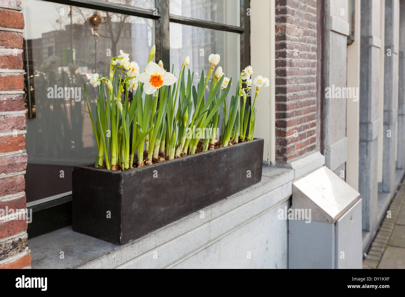 Narcissus flowers grow in wooden box on the windowsill in Amsterdam Stock Photo