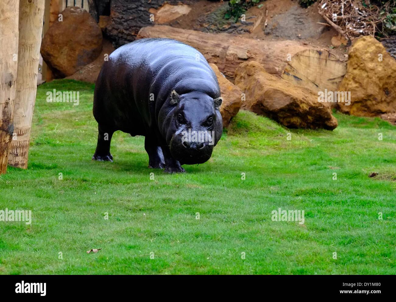 Hippo Zoo London Stock Photos  U0026 Hippo Zoo London Stock