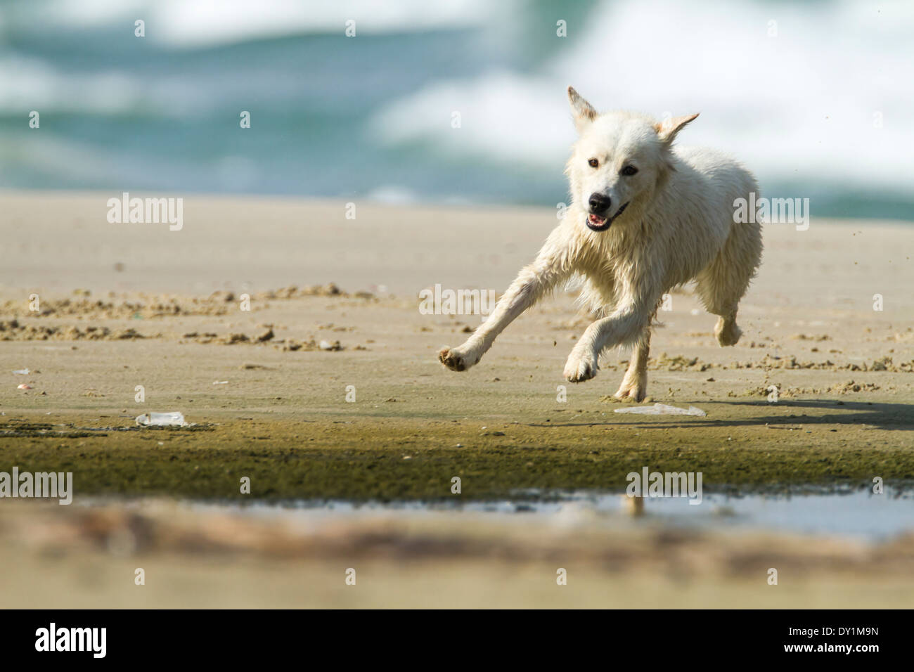 white Dog plays on a beach - Stock Image